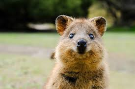 """What Is a Quokka? 15 Facts About the """"Happiest"""" Creature on Earth"""